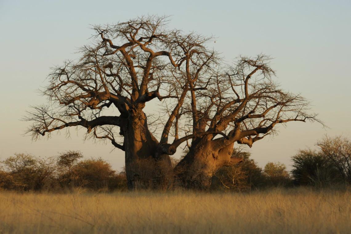 Nyae Nyae baobab
